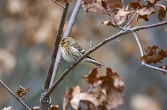 Redpoll (alderson.yvonne) Tags: bird spring yvonne yvonnealderson