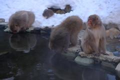 """The drinker"" (timtram) Tags: japan jigokudani monkey monkeys snow snowmonkeypark snowmonkeys winter yamanouchi"