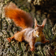 Red Squirrel - écureuil roux (Eric KAROUTCHÉ) Tags: redsquirrel ecureuil woods forest foret wildlife boisdevincennes animals animal animaux