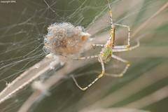 Vietnamese Oxypidae mum with babies (Phil Arachno) Tags: vietnam asia asien spider spinne arthropoda chelicerata oxyopidae arachnida