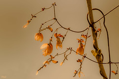 Légèreté !!! (thierrymazel) Tags: macro bokeh pdc dof profondeurdechamp feuilles leaf leaves arbres tree branche