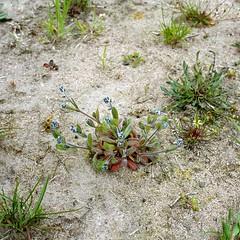 Myosotis stricta LINK ex ROEM. & SCHULT. Sand-Vergissmeinnicht, Aufrechtes Vergissmeinnicht, Steifes Vergissmeinnicht strict forget-me-not, blue scorpion grass. (Spiranthes2013) Tags: myosotisstrictalinkexroemschult vergissmeinnicht forgetmenot scorpiongrass vergissmeinnichtsteifes bluescorpiongrass myosotisstricta linkexroemschult sandvergissmeinnicht myosotis kfwolfstetter germany deutschland diaarchiv diascan becker bayern bavaria lowerfranconia unterfranken lkmiltenberg plant pflanze pflanzendias plantae nature natur sand angiosperms angiospermen eudicots eudicosiden asteriden asterids boraginoideae boraginales borages rauhblattgewächse raublattartige kerneudikotyledonen coreeudicots euasteriden euasterids 6x6 6x6dias