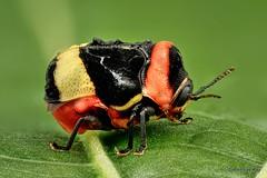 Pretty little Beetle, Chlamisus bolivianus (Ecuador Megadiverso) Tags: andreaskay beetle chlamisini chlamisusbolivianus chrysomelidae coleoptera cryptocephalinae ecuador focusstack fulcidaxsp