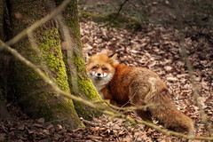 Bakom trädet (MagnusBengtsson) Tags: höör skånelän sverige se fotosondag fs190414 gomd räv fox