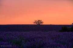 Lavender Field Sunset (Olmux82) Tags: summer provence lavender field sunset nikon d750 landscape paesaggio sun