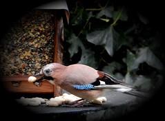 Peanuts (BrigitteE1) Tags: eichelhäher vogel bird erdnüsse eurasianjay jay garrulusglandarius bremen deutschland germany peanuts specanimal singvogel songbird