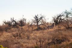 The Watcher on the Hill (thisbrokenwheel) Tags: africa lowersabie sanparks safari nature nationalpark sabieriver knp ranger wildlifephotography wildlife herbivore travel antelope waterbuck krugernationalpark conservation naturereserve southafrica
