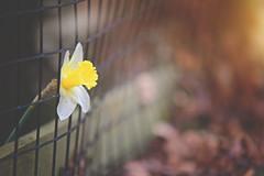 The Escape... (KissThePixel) Tags: daffodil flower fence fencefriday fencephotography fencebokeh happyfencefriday friday woodenfence garden woodland february longacremanor home nikon nikond750 makro macro closeup nature winter flora