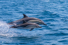 Short-beaked Common Dolphin (R. Francis) Tags: delphinusdelphis shortbeakedcommondolphin eaglehawkneck ryanfrancis ryanfrancisphotography tasmania tassie tas tasmanpeninsula continentalshelf pelagic dolphin