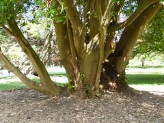 20130525_Powerscourt_DrimysWinteri_Cutler_P1470228 (wlcutler) Tags: winteraceae drimys drimyswinteri