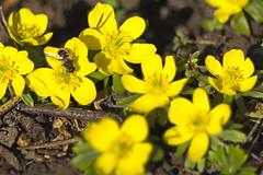 Gelbes Buschwindröschen mit Biene (olds.wolfram) Tags: blume biene gelb pflanze pflanzen erde gelbes buschwindröschen