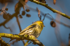 Siskin between the branches (Rivertay07 - thanks for over 5 million views) Tags: greatawell siskin carduelisspinus rivertay richardstead copyrightprotected