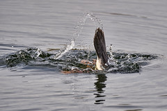 Svasso coda 83 (simonealbini) Tags: digapanperduto sommalombardo maddalena fiume ticino uccelliacquatici bird anatre svasso anatramandarina animali uccelli acqua sonya7iii sigma150600c