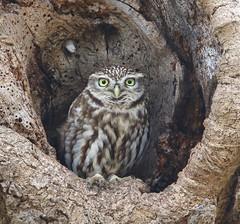 Little Owl (Lutra77) Tags: littleowl athenenoctua britishbirds birds birdsofprey owls naturephotography nature wildlife