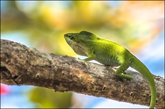 What The Heck ????? (ACEZandEIGHTZ) Tags: lizard bokeh reptile nikon d3200 sky tree branch green coth alittlebeauty coth5 sunrays5