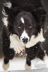 Picture of the Day (Keshet Kennels & Rescue) Tags: adoption dog ottawa ontario canada keshet large breed dogs animal animals pet pets field nature photography winter snow border collie speed run sprint fast leap jump intense focus stare eyes