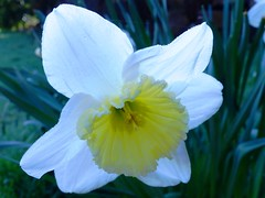 Daffodil in a Whiter Shade of Pale (CarenPolarBears) Tags: narcissus daffodil backlit