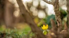 ...Spring... (Tom Zander) Tags: spring frühling frühblüher winterlinge winterling blossom blossoms blüte blüten blume blumen pflanze pflanzen a7r sony alpha tom zander bokeh plant plants garden unschärfe 50mm makro nah nahaufnahme nautre natur