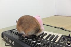 Ichigo san 1519 (Errai 21) Tags: いちごさんとキーボード ichigo san  キーボード keyboard ichigo rabbit bunny cute netherlanddwarf pet うさぎ ウサギ いちご ネザーランドドワーフ ペット 小動物  ichigo 1519