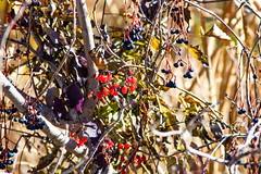 Fall Berries (BeerAndLoathing) Tags: 2018 october denver 77d colorado outdoors clearcreek canon fall arvada usa canoneos77d