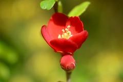 木瓜 / Chaenomeles speciosa     H. Roussel Kynor   1 : 3.5   F = 50 (情事針寸II) Tags: 赤 クローズアップ 自然 花 木瓜 rouge red closeup oldlens bokeh nature fleur flower hrousselkynor135f50