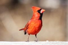 Northern Cardinal(m) (Sweetlassie) Tags: novascotia newminas cardinal