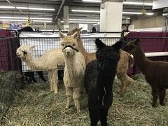 Alpaca group (f l a m i n g o) Tags: animal alpaca show