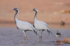 Standing Together.... (Anirban Sinha 80) Tags: nikon d610 fx 500mm f4 ed vrii n g 17xtc 850mm bird crane bokeh natural nature wetland portrait tails