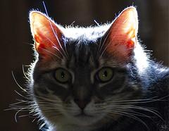 Ready for my closeup (Jersey JJ) Tags: belladonna the happy cat cute face portrait back light