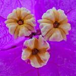 Bougainvillea's three bracts thumbnail