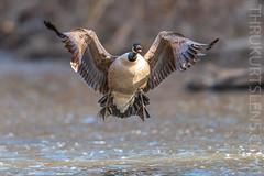Incoming! (ThruKurtsLens.com) Tags: 2019 flying kurtwecker nature naturephotographer spring talons thrukurtslenscom wildlifephotographer wildlifephotography woodduck