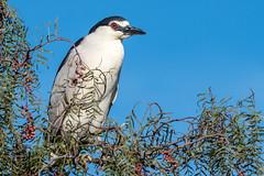 Just Hanging Around (MelRoseJ) Tags: milpitas california unitedstatesofamerica us nature northerncalifornia bayarea birds sony sonyilca77m2 sal70200g alpha