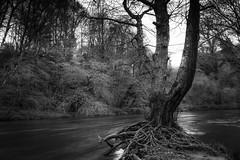 La rivière... (De l'autre côté du mirOir...) Tags: leléguer larivière eau arbre bretagne breizh brittany bzh fr france french nikon nikkor d810 nikond810 noiretblanc noirblanc nb blackwhite bw négroyblanco monochrome 240700mmf28 trégrom