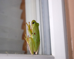 Frog On Our Back Window. (dccradio) Tags: lumberton nc northcarolina robesoncounty outdoor outdoors outside wildlife animal frog toad nature natural window april spring springtime wednesday wednesdaynight night evening treefrog nikon d40 dslr