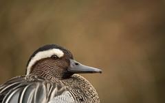 Garganey (Benjamin Joseph Andrew) Tags: bird waterfowl wildfowl one lone single individual closeup wetland waterbody duck