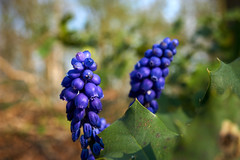 grape hyacinth (Jos Mecklenfeld) Tags: blauwedruifjes kleinetraubenhyazinthe grapehyacinth muscaribotryoides flowers blumen bloemen nature natur natuur forest wald bos nulbos westerwolde sonya6000 sonyilce6000 sonye30mmf35macro sel30m35 niederlande nederland terapel groningen netherlands nl