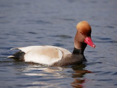 Red crested pochard (PhotoLoonie) Tags: redcrestedpochard duck waterbird wildlife nature