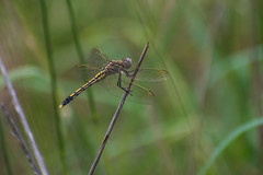 Yellow and Black Dragonfly (Lenny Bander) Tags: dragonfly yellow black insect australia macro damselfly