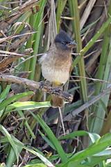 Dark-capped Bulbul (Roy Lowry) Tags: darkcappedbulbul ubizane pycnonotustricolor
