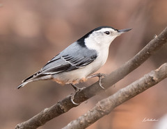 White-breasted nuthatch-Bent of the River-12-29-18-1 (hudsonvalleybirder) Tags: connecticutbirding znuthatch bentoftheriver
