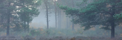 Mist on the Common (Michael Sowerby Photography) Tags: woodland woods woking forest mist sunrise trees atmosphere horsell common morning landscapephotography photography surrey england canon 5dsr 70200mm
