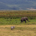 Zebras and Elephant