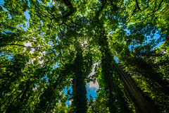 Maui Rainforest Canopy (Daren Grilley) Tags: hana maui hawaii rainforest jungle sky trees vines rokinon samyang uwa 14mm nikon d850