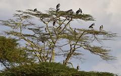 Birds 57 (orientalizing) Tags: nairobi landscape creatures kenya nairobinationalpark maraboustork birds trees