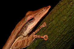 Long-snouted Tree-frog - 1 (Gomen S) Tags: animal wildlife nature frog amphibian macro 105mmmicro d500 nikon srilanka night forest 2018 herp