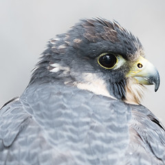 Peregrine Portrait 2 (Gene Mordaunt) Tags: peregrine falcon raptor bird birdofprey ontario nikon810