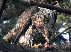 American Bald Eagle 3rd yr Eating Duck  2 Reifel Jan 1, 2018 (EastLadner) Tags: rogers reifel 104th 72nd aldergrove
