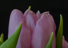 Detail of a tulip (frankmh) Tags: plant flower tulip detail macro hittarp sweden
