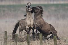 Konik's - Head to Head (colinstone1) Tags: nikon wickenfen horse rare polish konik