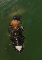 Firefly Beetle Atyphella species Lampyridae Elateroidea Airlie Beach P1460260 (Steve & Alison1) Tags: firefly beetle atyphella species lampyridae elateroidea airlie beach